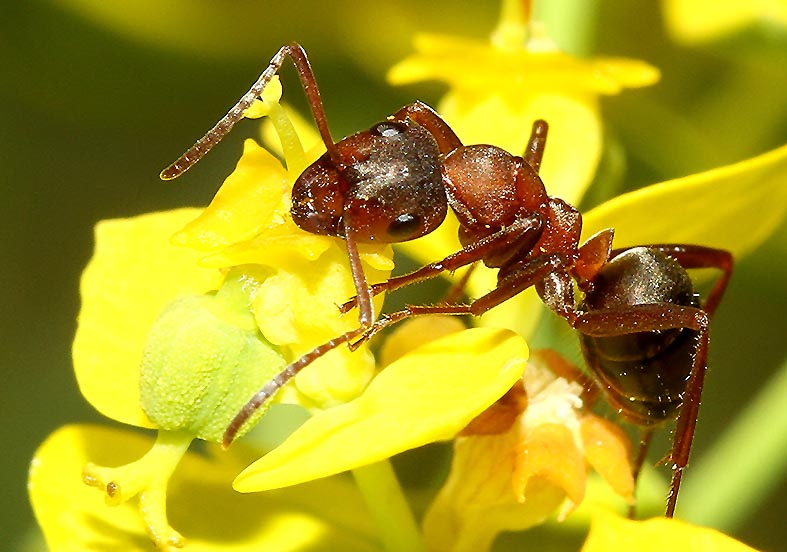 Formica sanguinea - Blutrote Raubameise -  - Formicidae - Ameisen - ants