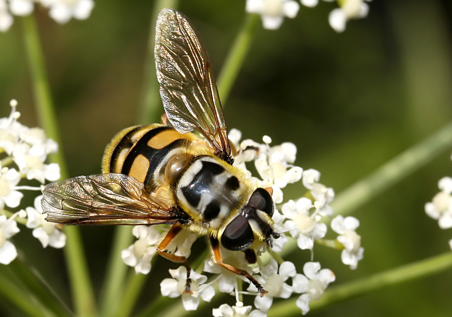 Myathropa florea- Totenkopffliege - Fam. Syrphidae - Schwebfliegen - Brachycera (Fliegenartige) - Aschiza