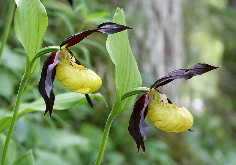 Cypripedium calceolus - Frauenschuh  - Fam. Orchidaceae - Wald - forest