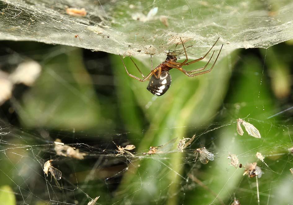 Frontinellina frutetorum - Fam.Linyphiidae  -   Samos - Araneae - Webspinnen - orb-weaver spiders
