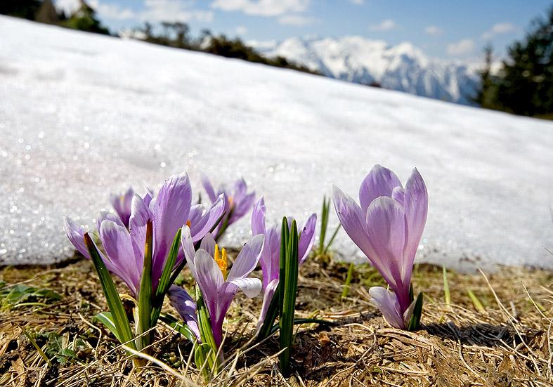 Crocus albiflorus - Frühlingskrokus - Fam. Iridaceae - Weiden - pastures