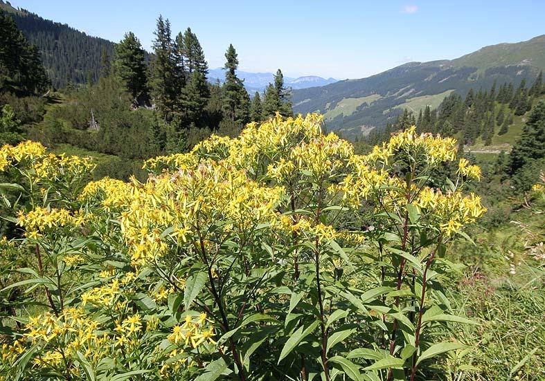 Senecio ovatus - Fuchssches Greiskraut - Fam. Asteraceae - Bergwald/Waldgrenze - mountain forest/timberline