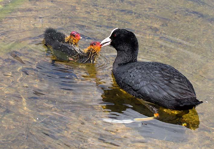 Fulcia atra - Blesshuhn - Fam. Rallidae - Rallen - Weitere Vogelfamilien - other bird families