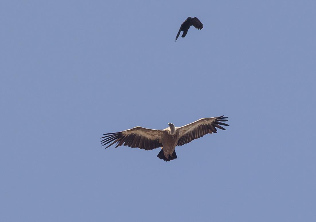 Gyps fulvus - Gänsegeier  -  - Aves - Vögel - birds