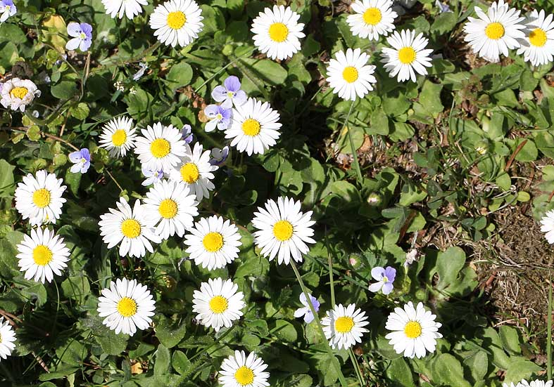 Bellis perennis - Gänseblümchen  - Fam. Asteraceae - Wiesen - meadows