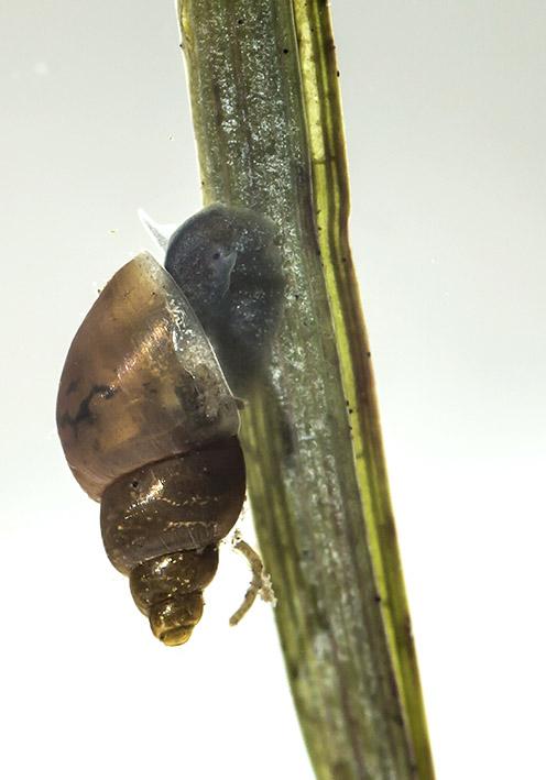 Galba truncatula - Kleine Sumpfschnecke - Fam. Lymnaeidae - Schlammschnecken - Basommatophora - Wasserlungenschnecken