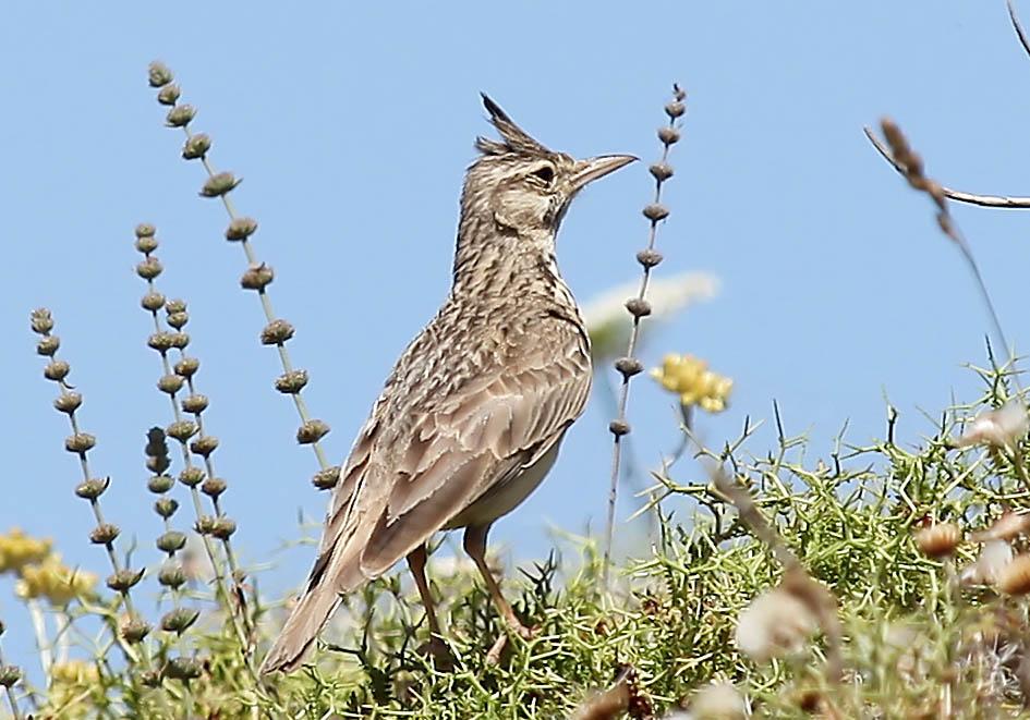 Galerida cristata - Haubenlerche - Amorgos - Aves - Vögel - birds