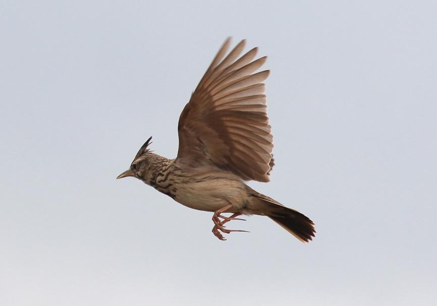 Galerida cristata - Haubenlerche - Lesbos - Aves - Vögel - birds