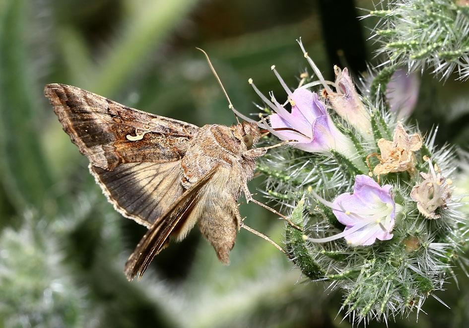 Autographa gamma - Gammaeule  - Fam.  Erebidae/Erebinae   -  Lesbos - Nachtfalter - moths