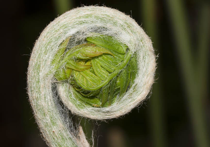 Farnknospe -  - Grün - green