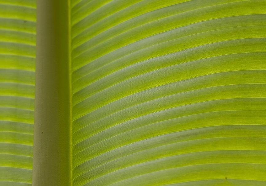Bananenblatt -  - Grün - green