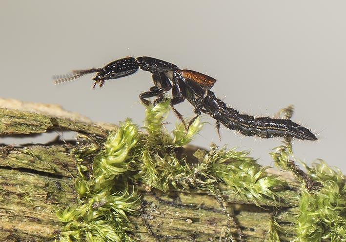 Gauropterus fulgidus  -  - Staphylinidae - Kurzflügler - rove beetles