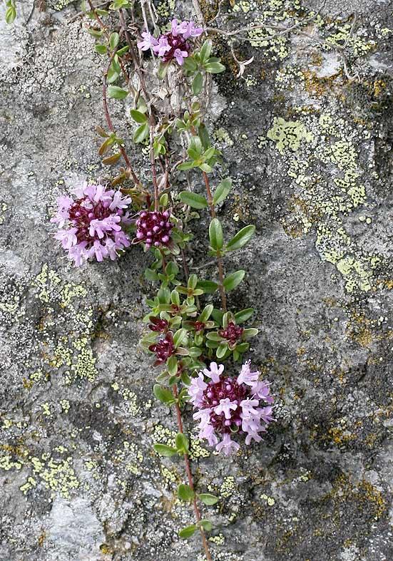 Thymus praecox polytrichus - Gebirgs-Thymian - Fam. Laminaceae - Felsspalten - rock crevices