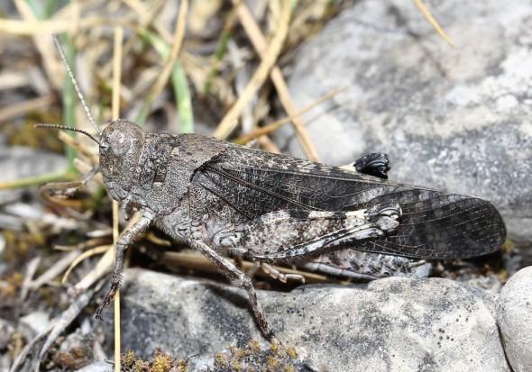 Gefleckte Schnarrschrecke - Bryodemella tuberculata - UFam. Oedipodinae - Acrididae - Feldheuschrecken - grasshoppers