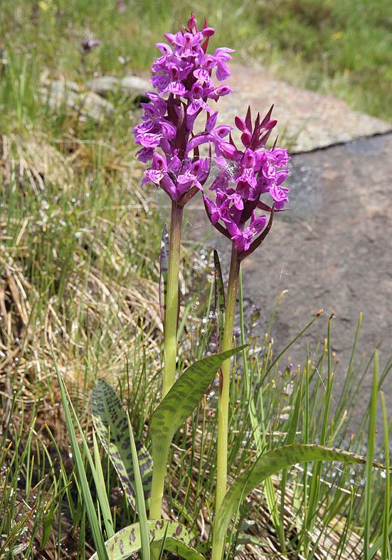 Dactylorhiza maculata - Geflecktes Knabenkraut  - Fam. Orchidaceae - Alpine Feuchtwiesen - alpine wetlands