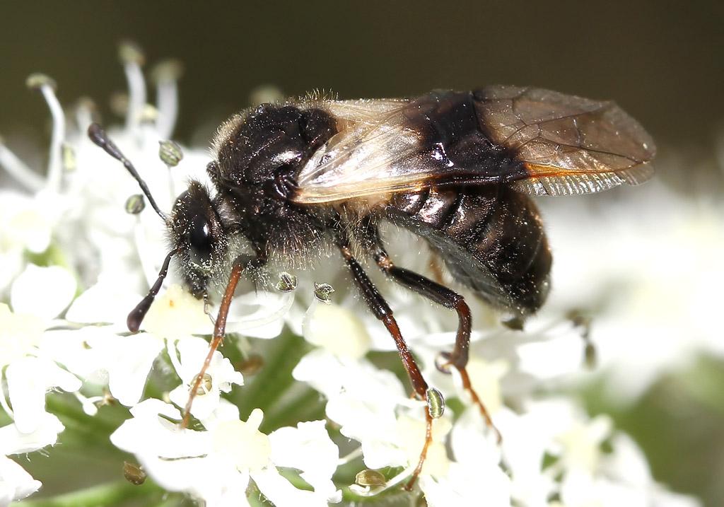 Abia fasciata - Geißblatt-Keulhornblattwespe - Fam. Keulhornblattwespen - Cimbicidae - Symphyta - Pflanzenwespen - sawflies