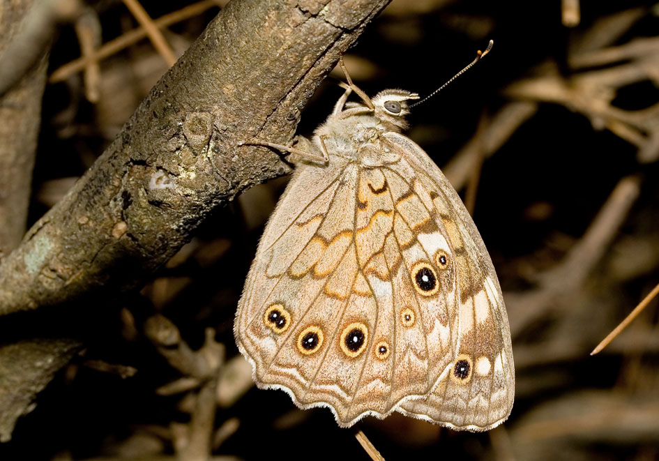 Kirinia roxelana - Gelbbrauner Ringaugenfalter  - Ikaria - Nymphalidae - Edelfalter - brush-footed butterflies
