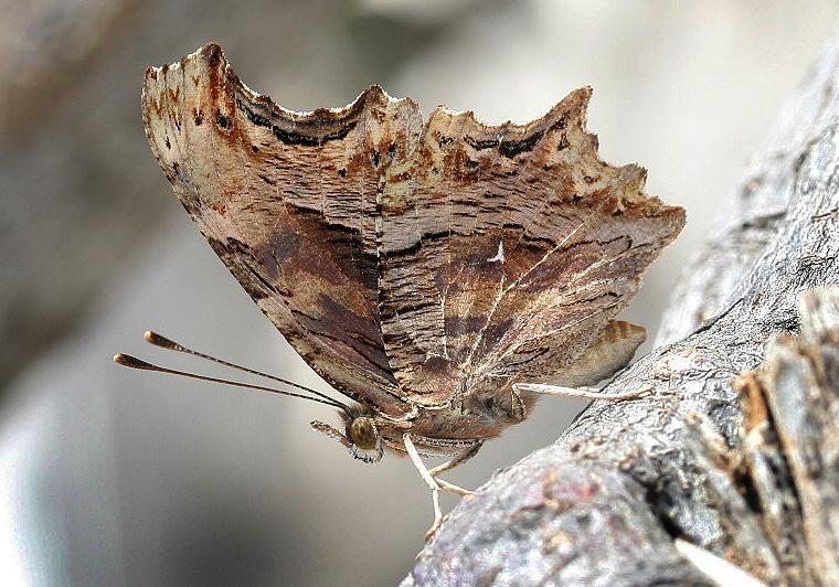 Polygonia egea  -  Gelber C-Falter - Nisyros - Nymphalidae - Edelfalter - brush-footed butterflies