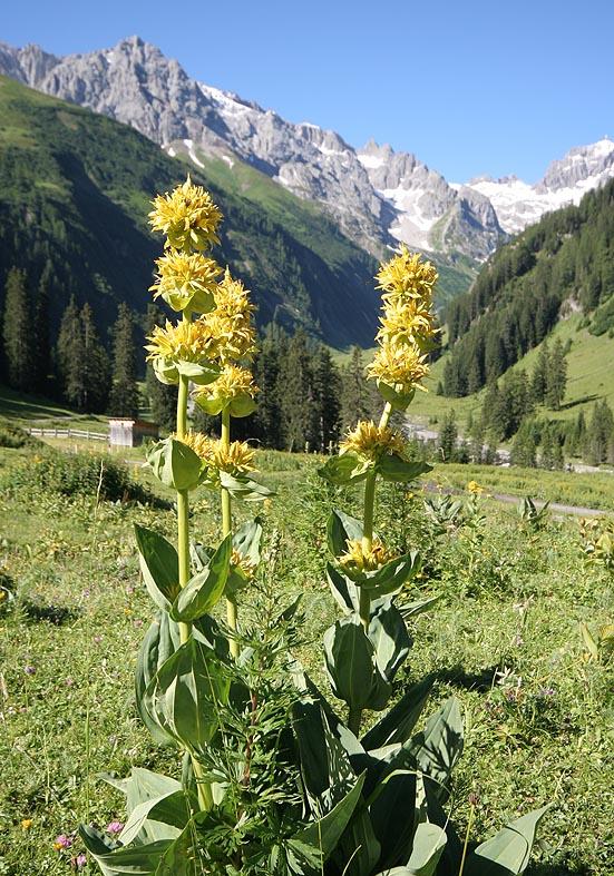 Gentiana lutea - Gelber Enzian - Fam. Gentianaceae - Weiden - pastures