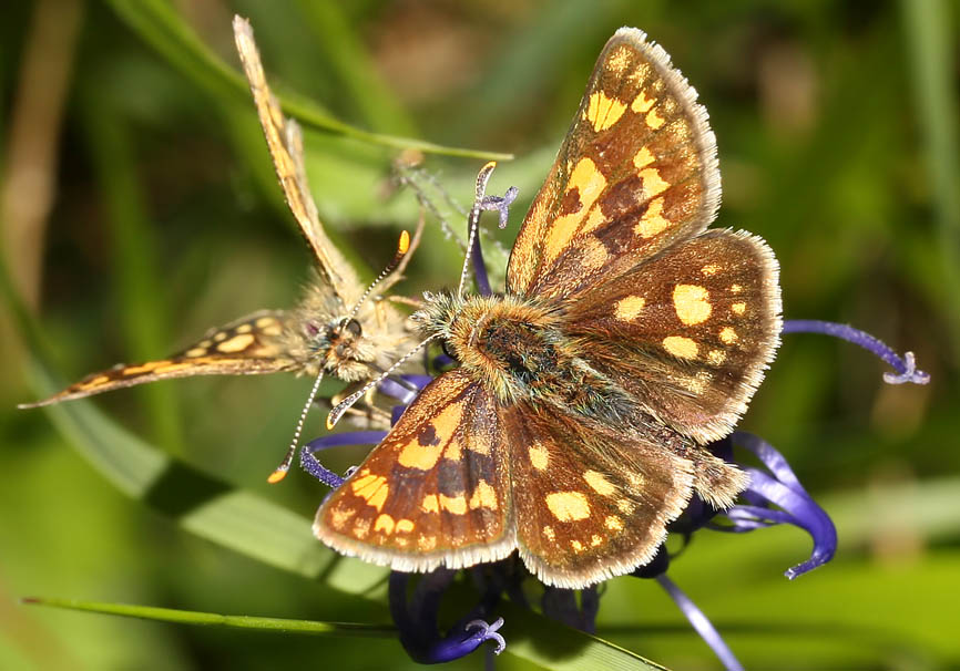 Carterocephalus palaemon - Gelbwürfeliger Dickkopffalter  -  - Hesperidae - Dickkopffalter - skipper
