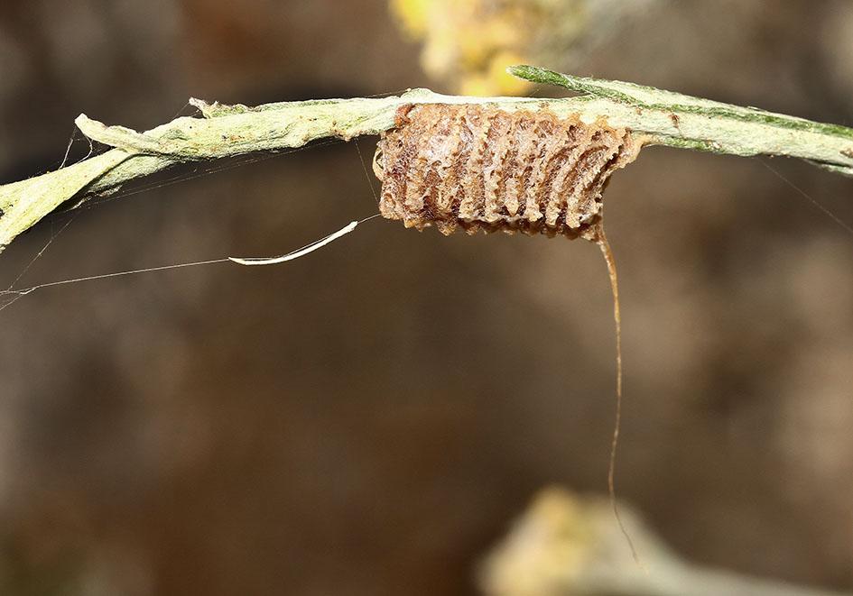 Gelege einer Gottesanbeterin -  - Mantodea - Fangschrecken - praying mantises