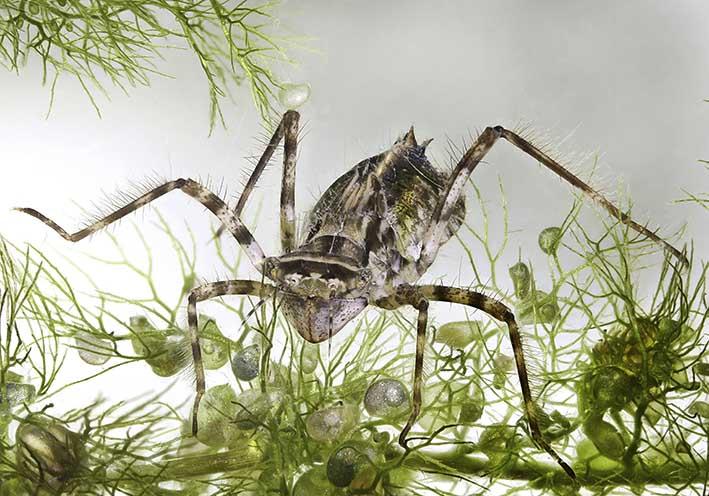Gem. Smaragdlibelle - Cordulia aenea - Fam. Corduliidae - Falkenlibellen - Anisoptera - Großlibellen - dragonflies