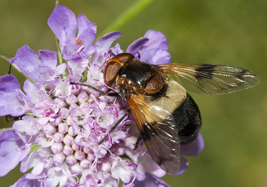 Volucella pellucens - Gemeine Waldschwebefliege - Fam. Syrphidae - Schwebfliegen - Brachycera (Fliegenartige) - Aschiza