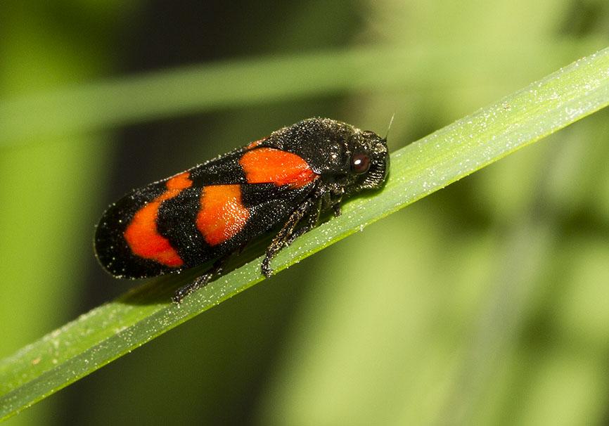 Cercopis vulnerata - Gemeine Blutzikade -  - Cicadoidea - Zikaden - cicadas