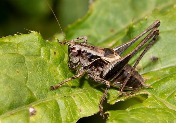 -  - Tettigoniidae - Laubheuschrecken - bush crickets