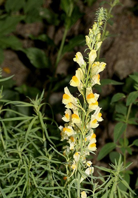Linaria vulgaris - Gemeines Leinkraut - Fa. Scrophulariceae - Trockenrasen - dry grasslands