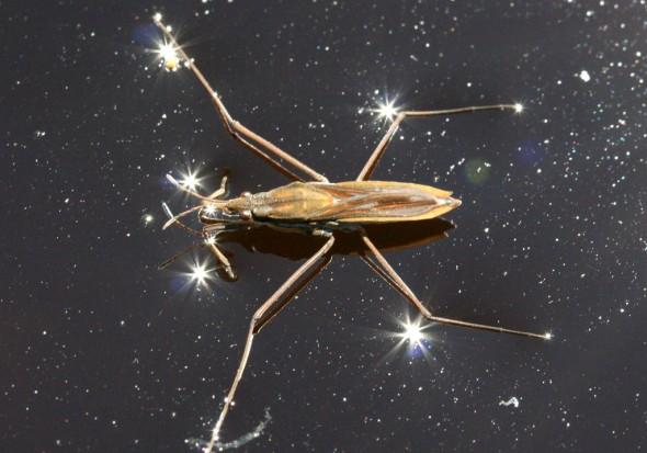 Gerris costae - Wasserläufer - Fam. Gerridae - Wasserläufer - Heteroptera - Wanzen - true bugs
