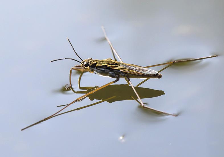 Gerris lacustris Gemeiner Wasserläufer - Fam. Gerridae - Wasserläufer - Heteroptera - Wanzen - true bugs