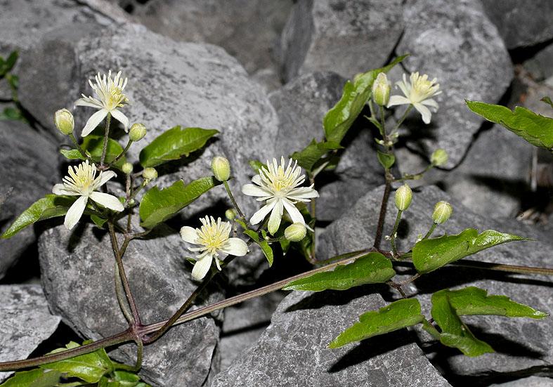 Clematis vitalba - Gewöhnliche Waldrebe - Fam. Ranunculaceae - Wald - forest