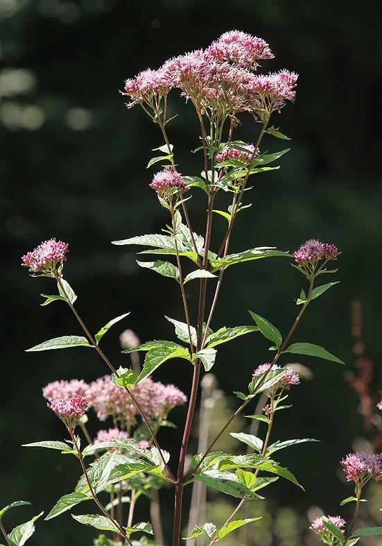 Eupatorium cannabinum - Gewöhnlicher Wasserdost  - Fam. Asteraceae - Wald - forest