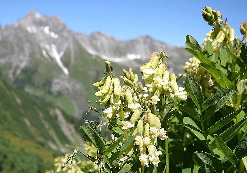 Astragalus frigidus - Gletscher-Tragant  - Fam. Fabaceae - Alpine Rasen - alpine grassland