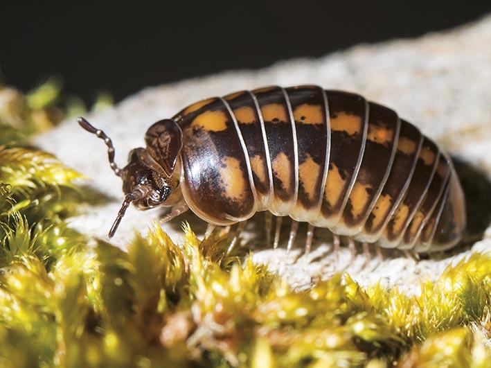 Glomeris connexa - Fam. Glomeridae - Saftkugler - Diplopoda - Doppelfüßer - millipeds