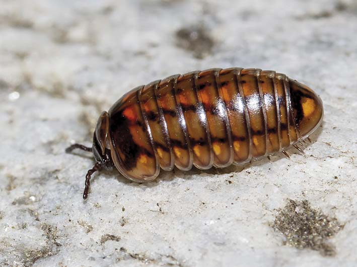 Glomeris hexasticha - Fam. Glomeridae - Saftkugler - Diplopoda - Doppelfüßer - millipeds
