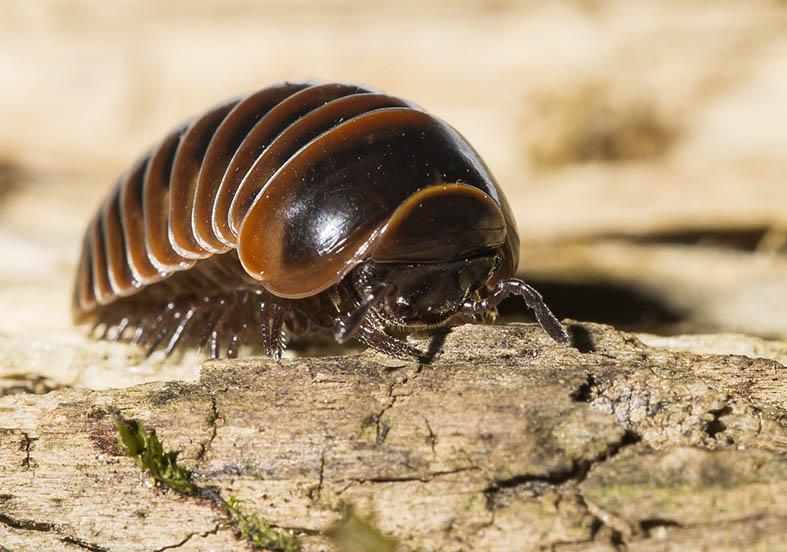 Glomeris transalpina - Fam. Glomeridae - Saftkugler - Diplopoda - Doppelfüßer - millipeds