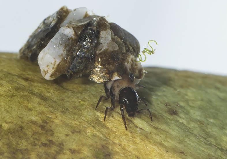 Glossosoma conformis -  - Trichoptera - Köcherfliegen - daddisflies