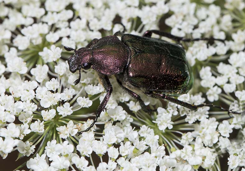 Gnorimus nobilis  -  Grüner Edelscharrkäfer - Fam. Cetoniidae  - Pilion (Griechenland) - Scarabaeidea - Blatthornkäfer - scarab beetles