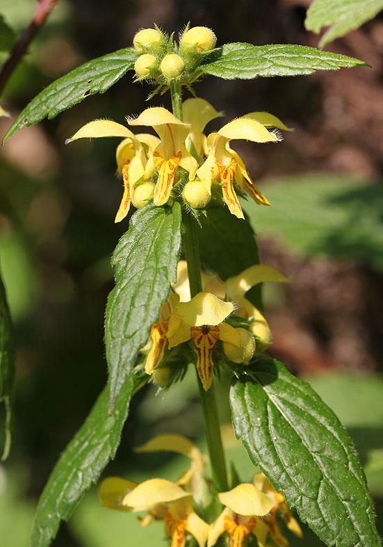 Lamium galeobdolon - Goldnessel  - Fam. Lamiaceae - Wald - forest