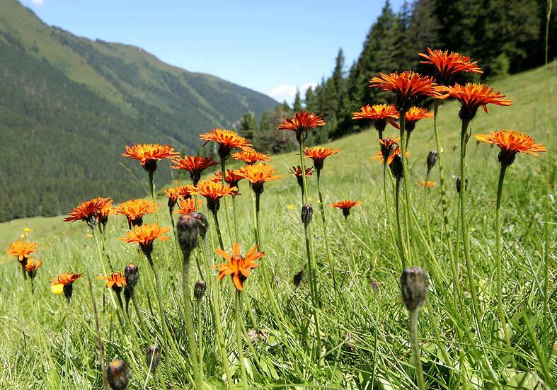 Crepis aurea - Goldpippau  - Fam. Asteraceae - Alpine Rasen - alpine grassland