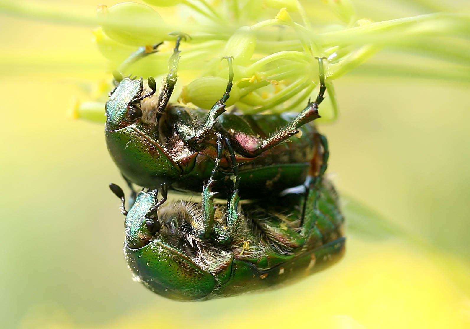 Cetonia aurata - Goldrosenkäfer - Fam. Cetoniidae  -   Kroatien - Scarabaeidea - Blatthornkäfer - scarab beetles