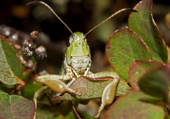 Gomphocerus sibiricus -Sibirische Keulenschrecke - UFam. Gomphocerinae - Acrididae - Feldheuschrecken - grasshoppers