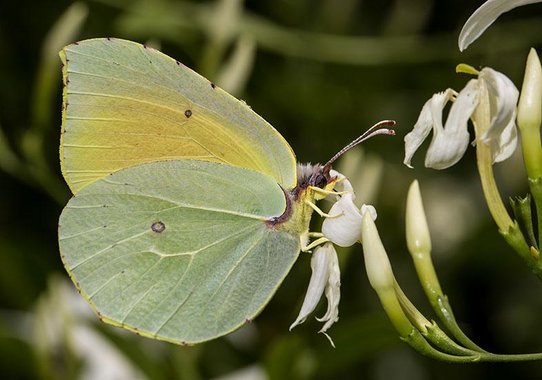 Gonepteryx  cleopatra  -  Kleopatra-Falter - Pilion (Griechenland) - Pieridae - Weißlinge - whites