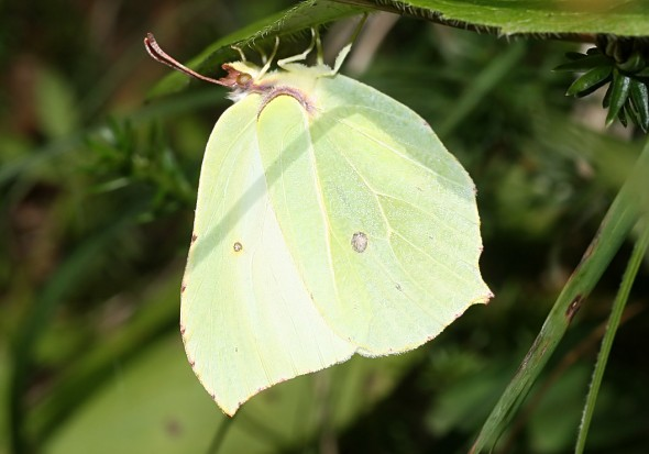 Gonepteryx rhamni - Zitronenfalter -  - Pieridae - Weißlinge - whites