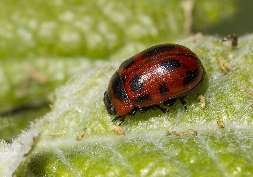 Gonioctena viminalis - Veränderlicher Weidenblattkäfer -  - Chrysomelidae - Blattkäfer - leaf beetles