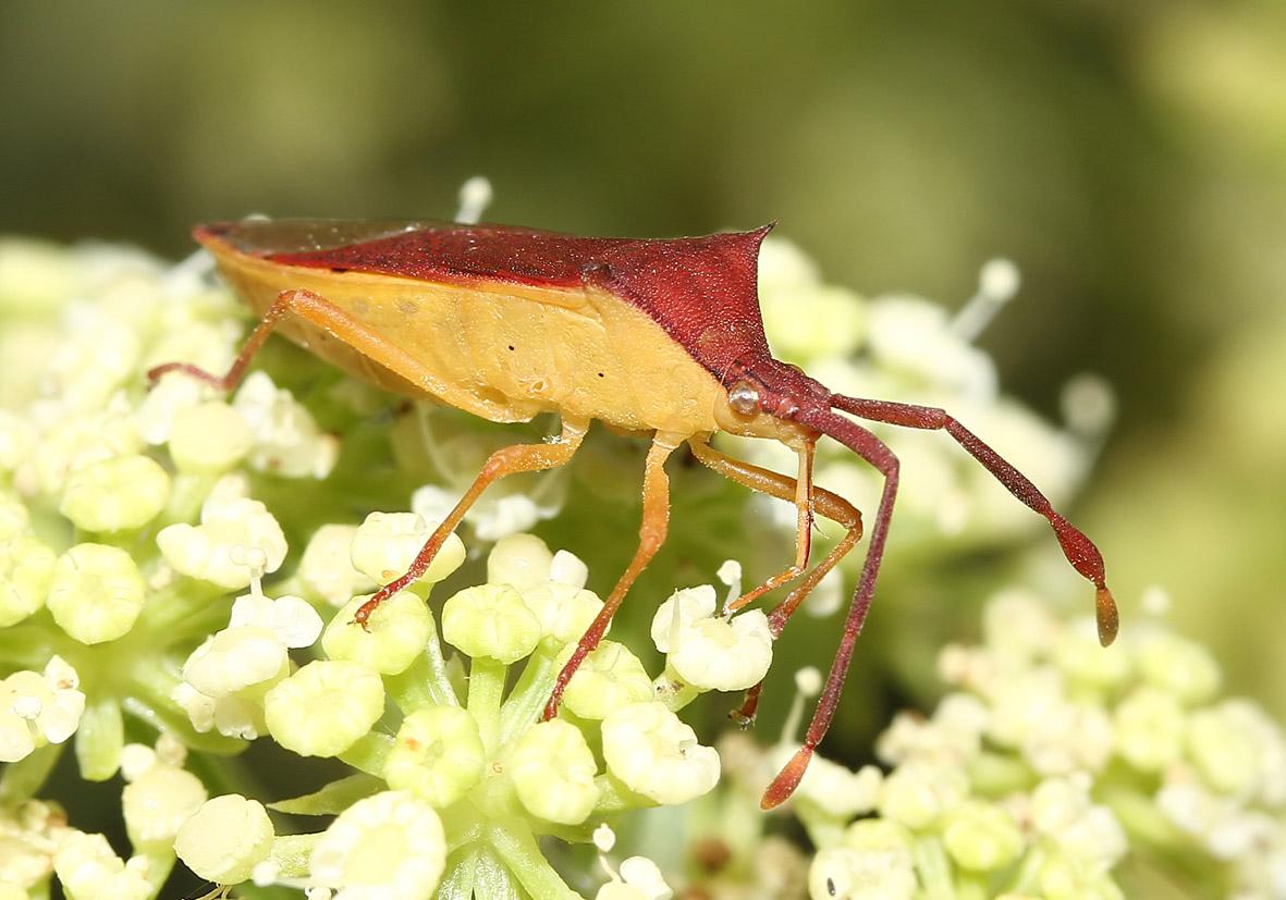 Gonocerus insidiator - Randwanze - Fam. Coreidae  -  Samos - Heteroptera - Wanzen - true bugs