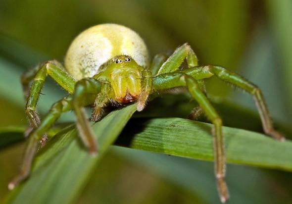 Grüne Huschspinne - Micrommata virescens - Fam. Sparassidae - Riesenkrabbenspinnen - Araneae - Webspinnen - orb-weaver spiders