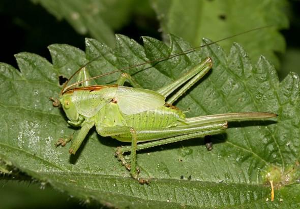 Tettigonia  viridissima juvenil - Grünes Heupferd - Fam. Tettigoniidae - Tettigoniidae - Laubheuschrecken - bush crickets